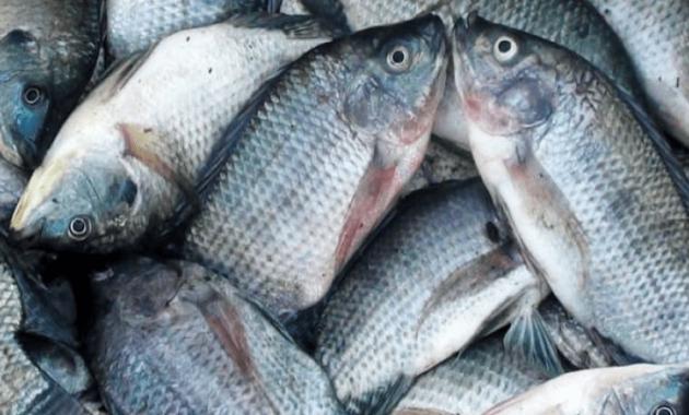 Umpan Mancing Ikan Mujair Nila Dengan Lumut Cottonbut Pelet Edisutanto Com