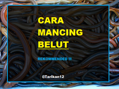 Cara mancing belut