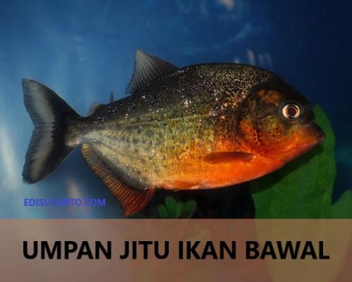 10 Umpan Jitu Mancing Ikan Bawal Untuk Harian Dan Lomba Edisutanto Com