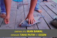 Umpan Jitu Ikan Bawal