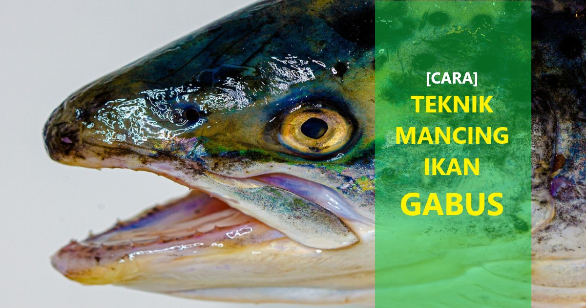 Cara Mancing Ikan Gabus