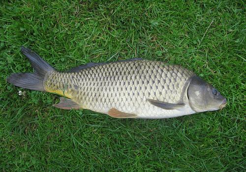Ikan Mas Punten