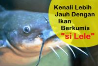 Kenali Ikan Lele