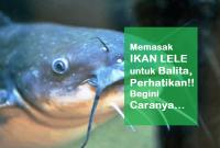 Memasak Ikan Lele Untuk Balita