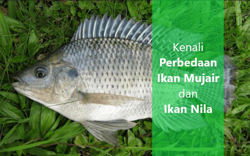 Perbedaan ikan mujair dan ikan nila