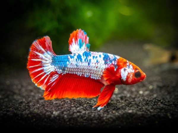 Ikan Cupang Plakat / Aduan